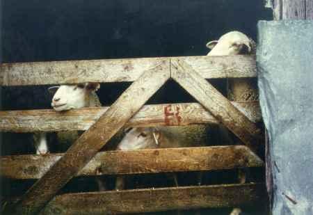 Les moutons de Raoul Boeuf